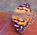 Painted Lady - Vanessa cardui - large.JPG