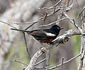 Painted redstart. Myioborus pictus (1) - Flickr - gailhampshire.jpg