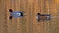 Pair of Wigeon (6684942971).jpg