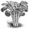 Pak-choi Vilmorin-Andrieux 1883.png
