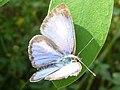 Pale Grass Blue upper side (5323229357).jpg
