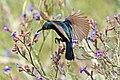 Palestine sunbird (Cinnyris osea osea) male in flight.jpg