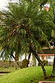 Palma Robelina (Phoenix roebelenii) (15) (14428593463).jpg