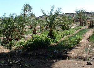 Dikhil - Palm garden of Dikhil