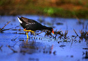 Papahanaumokuakea marine National Monument, Gallinule, Hawaii.jpg