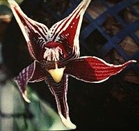 Paphinia cristata-01