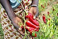 Paprika pepper farmer in Tanzania (5761933485).jpg