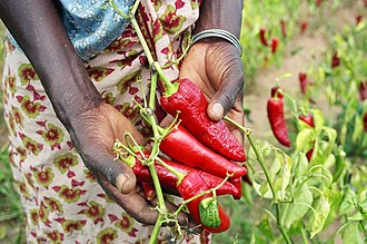 Paprika - Paprika pepper farmer in Tanzania
