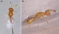 Parasite160063-fig5 - Megastigmus viggianii.png