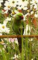 Parrot bd.jpg