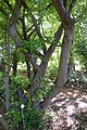 Parrotia persica in Jardin botanique de la Charme 02.jpg