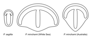 Parvancorina - Schematic reconstructions of P. sagitta and P. minchami