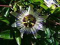 Passiflora caerulea (P1080600).jpg