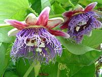 Passiflora quadrangularis1644531062