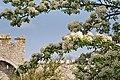 Pear tree in bloom by Visby City Wall, Gotland 2.jpg