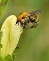 Pedicularis sceptrum-carolinum - Bombus schrencki - Niitvälja bog.jpg