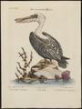 Pelecanus fuscus - 1700-1880 - Print - Iconographia Zoologica - Special Collections University of Amsterdam - UBA01 IZ18000175.tif