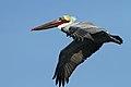 Pelecanus occidentalis -San Luis Obispo, California, USA -flying-8.jpg