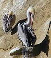 Pelican.cropped.jpg