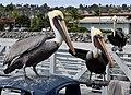 Pelican Clique (15716564727).jpg