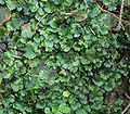 Pellia epiphylla7 ies.jpg