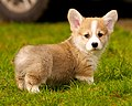 Pembroke Welsh Corgi in Grass.jpg