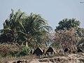 People Kids Working Rocks Sea Trees Boats at Saint Martin's Island Teknaf Cox's Bazar Bangladesh 04.jpg