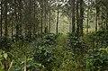Pepper plantation Kolli hills JEG3039.jpg