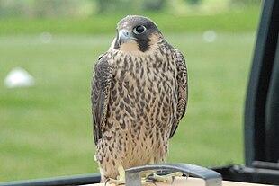 Esemplare di falco pellegrino