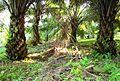 Perkebunan kelapa sawit milik rakyat (86).JPG