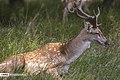 Persian Fallow Deers in Dasht-e Naz Wildlife Refuge 2020-06-02 08.jpg
