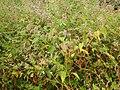 Persicaria orientalis 01.JPG
