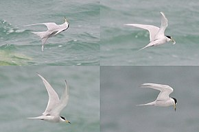 Description de l'image Peruvian Tern.JPG.