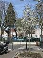 Petit magnolia à Colombes D1804.jpg