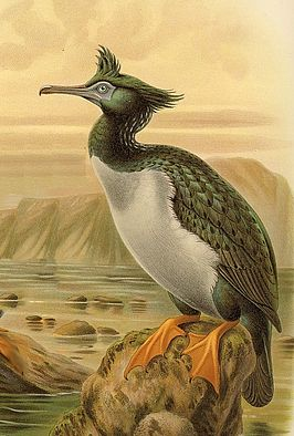 Phalacrocorax featherstoni Keulemans.jpg