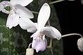 Phalaenopsis lindenii (Luzon, Philippines) Loher, J. Orchidées 6- 103 (1895) (27093994149).jpg