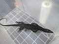 Philippine monitor lizard (37090440894).jpg