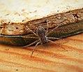 Philodromus sp. Running Crab Spider - Flickr - gailhampshire.jpg