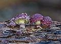 Pholiota polychroa (Berk.) A.H. Sm. & H.J. Brodie 573088.jpg