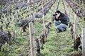Photographe viticole dans les vignes du vignoble de Beaune, Bourgogne.jpg