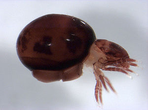 Phthiracaridae Wikispecies