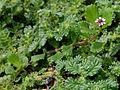 Phyla nodiflora (Frog fruit) with Coldenia procumbens W IMG 9962.jpg
