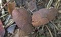 Physarum melleum 601115.jpg