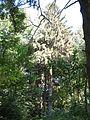Picea abies Корсунь.jpg