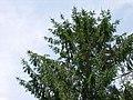Picea abies 2.jpg