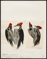 Picus spec. - 1700-1880 - Print - Iconographia Zoologica - Special Collections University of Amsterdam - UBA01 IZ18700165.tif
