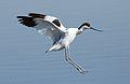 Pied Avocet, Recurvirostra avosetta at Marievale Nature Reserve, Gauteng, South Africa (27802004182).jpg