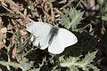 Pieris rapae - Küçük beyazmelek 02.jpg