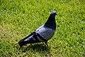 Pigeon in Piazza Brà (Verona) 2.jpg