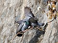 Pigeons Courting Ooty Mar21 A7C 00671.jpg